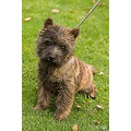 dog Cairn Terrier