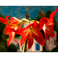 hippeastrum koryagin april flower window spring