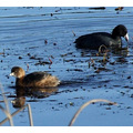 Pied-billed Grebe with American Coot