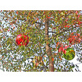 ornaments decorations oakland tree holiday red green autumn holidayfph