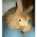 rabbit pets pet rabbits Strolch tramp valerius animal bunny