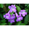 flower flor flowers vines trepadeiras plants brazil nature