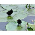 Moorhens new brood