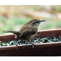 carolina wren birds