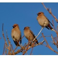 waxwings birds sky blue