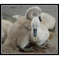 hug cuddle cygnet love nature somerset somersetdreams swan carlsbirdclub