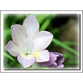 freesia spring flower
