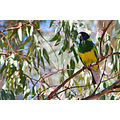 bird lorikeets perth littleollie