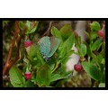 blueberries butterfly