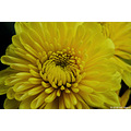 stlouis missouri us usa plant flower gail birthday yellow macro 2006