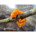 Tremella mesenterica yellow brain fungus witch butter