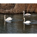 river reeds swans please enlsrge