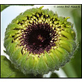 stlouis missouri us usa flower bud macro daisy gergera pineapple 062209 2009