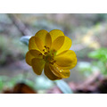 Woodland Buttercup, in bloom on Christmas Day!