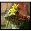 bearded dragon flower hat ascot