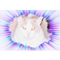 grand paw cat bi colored mainecoon