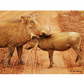 warthog baby mother couple