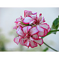 pink white flower terrace garden home alora malaga andalucia spain guadalhorce