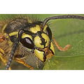 Macro wasp honey