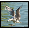 gull herringgull nature seagull carlsbirdclub somersetdreams bird somerset