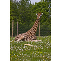 Giraffe Marwell Zoo Wildlife Captive