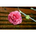 Pink Carnation Flower Raindrop