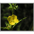 seedbox wildflower yellow