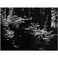 forest ferns redwoods Calif Light shadow bw