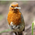 Robin friend