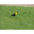 yellow headed blackbird hunting for bugs