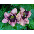 DirtGirls curves daylily