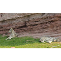 blackhills southdakota animals wolves