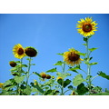 sunflower flower thailand poulets 2007 nature