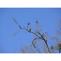 red shouldered hawk mistletoe lichen blue sky