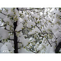 Iran karaj nature Blossoms snow