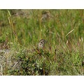 e620 grass straw ptharmigan bird Iceland