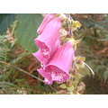 Madeira island Portugal nature wild flowers 2006 digitalis fushia