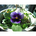 viola in my room
