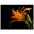 daylily garden orange