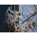 hops frost crystals frozen plant
