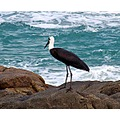 Stork on rocks at Marina Beach KZN South Africa storks are not often seen