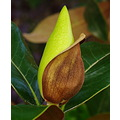 tree magnolia bud