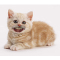 Kitten smile _copyright