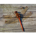 ruddydarter dragonfly sussex