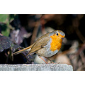 robin bird animal fauna winter varna bulgaria nikon sigma