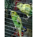 kka birds in the cage image