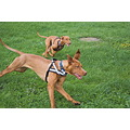 animal animals dog dogs HungarianVizsla Vizsla Anuschka Alvaro running hunting
