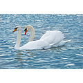 swan bird nature animal sea winter bulgaria varna nikon sigma