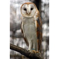 barn owl birds zoo Winnipeg Manitoba Canada
