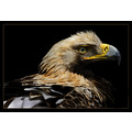 eagle nature bird american animal animals birds